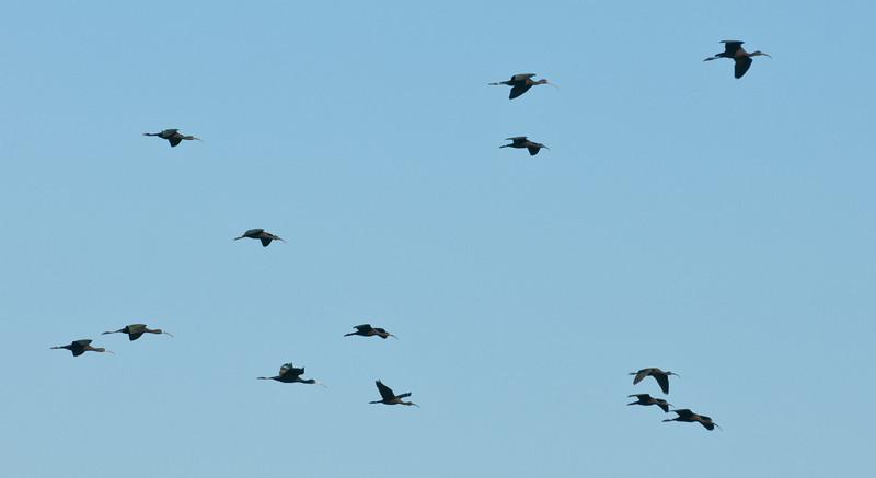 • Lake Woodruff National Wildlife Refuge<br /> • Flock of Glossy Ibis