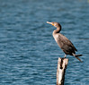 • DeLeon Springs State Park<br /> • Double Crested Cormorant <br /> • How do you like my kick?