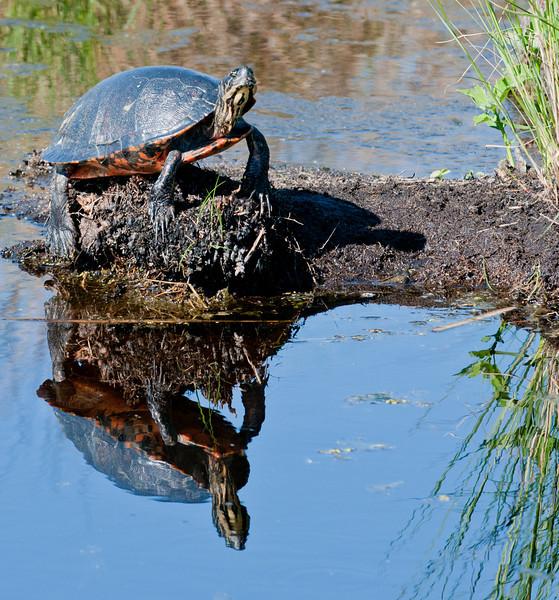 • Lake Woodruff National Wildlife Refuge<br /> • Chicken Turtle says see my reflection
