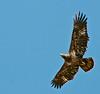 • DeLeon Springs State Park<br /> • Juvenile Bald Eagle
