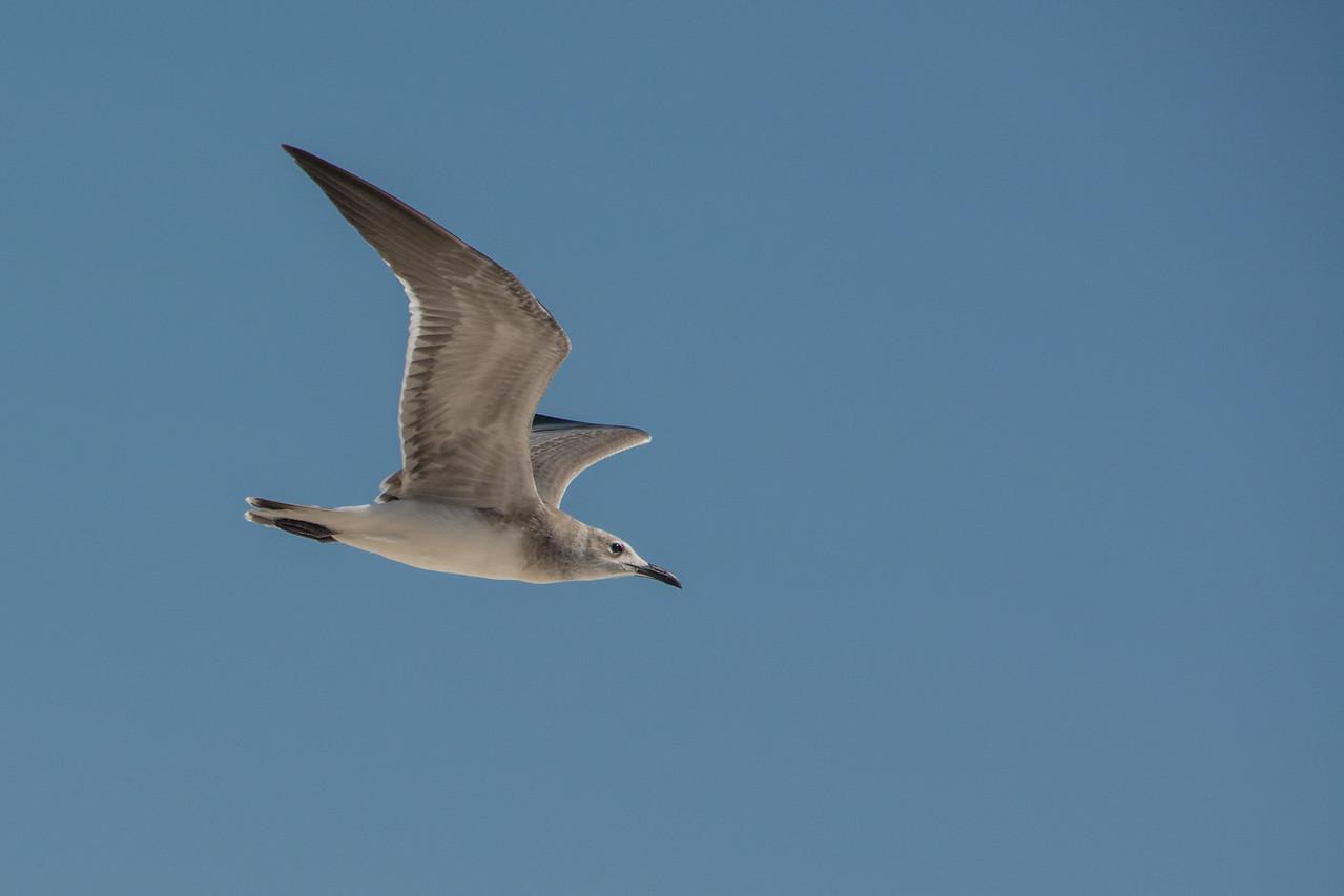 • Location - Sebastian Inlet State Park North Jetty<br /> • Bonaparte's Gull