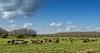 Herd of Florida Cracker Horses