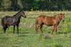 A mare and stallion Florida Cracker Horses roaming around the pasture
