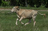 Florida Cracker Calf