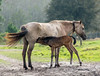 Florida Cracker Mare with its Foal