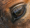 Close-up of the Florida Cracker Horse's eye.  If you look hard you can see my reflection in it.