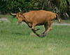One of the Florida Cracker Cows being herded into the pasture.  All fours are off the ground.