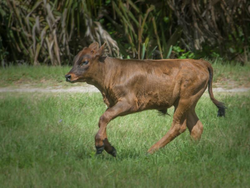 Florida Cracker Calf