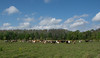 Herd of Florida Cracker Cattle