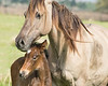Florida Cracker Mare with its Foal.  This is really togetherness!
