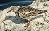 • Fort Pierce Inlet<br /> • Ruddy Turnstone