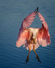 I guess the juvenile Roseate Spoonbill has a talent of touching its wings together