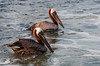 A couple of Brown Pelicans hanging around our boat