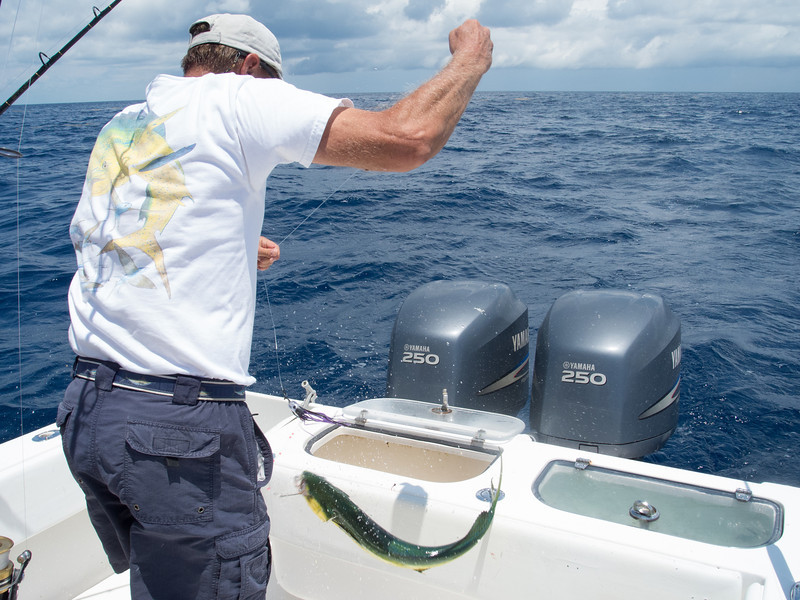 Captain Ralph just pulled in a Mahi Mahi (Dolphin) fish