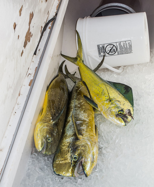 The first 3 Mahi Mahi fish that were caught.  It wasn't a very productive day since we only caught one fish each.