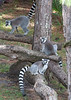 A trio of Lemurs