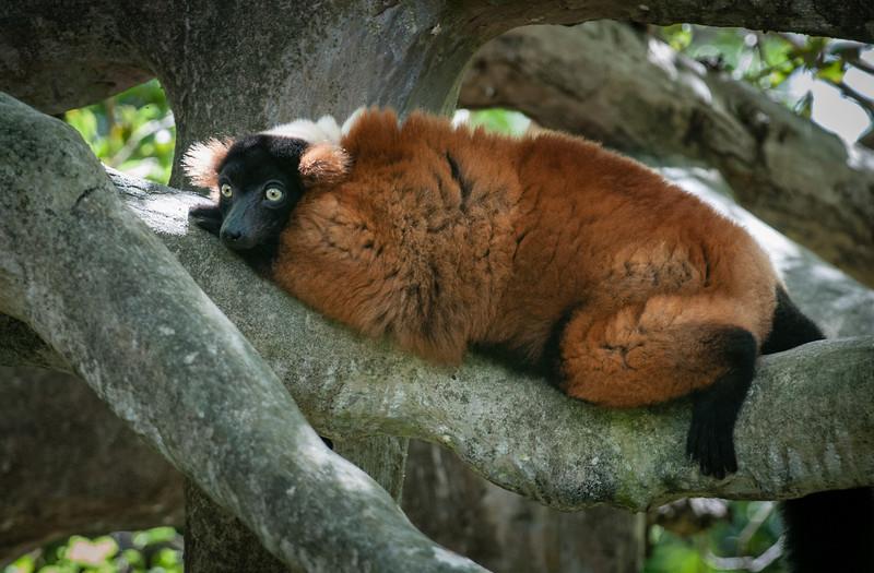 Ruffed Lemur just taking it easy