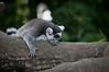 Doesn't look like the Lemur will get excited about anything