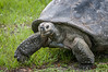 Giant Galapagos Tortoise on the move