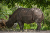All I could get is a rear photo of Pigmy Hippopotamus