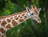 Cute looking Giraffe