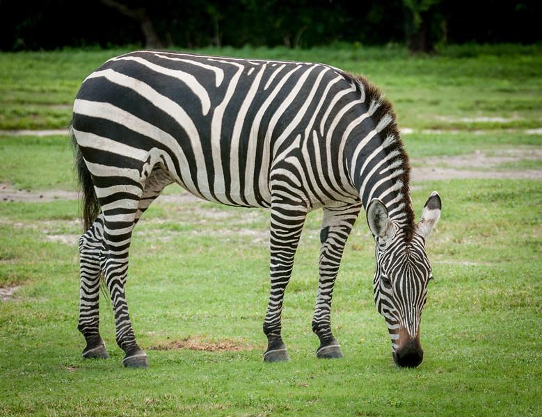 Stunning photo of the Zebra