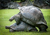 A pair of Giant Galapagos Tortoises mating