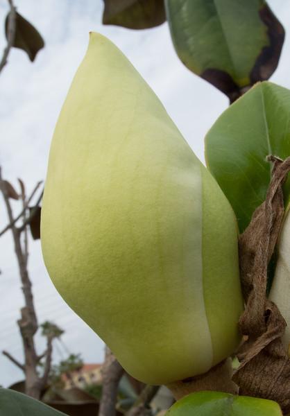Magnolia Tree Bud