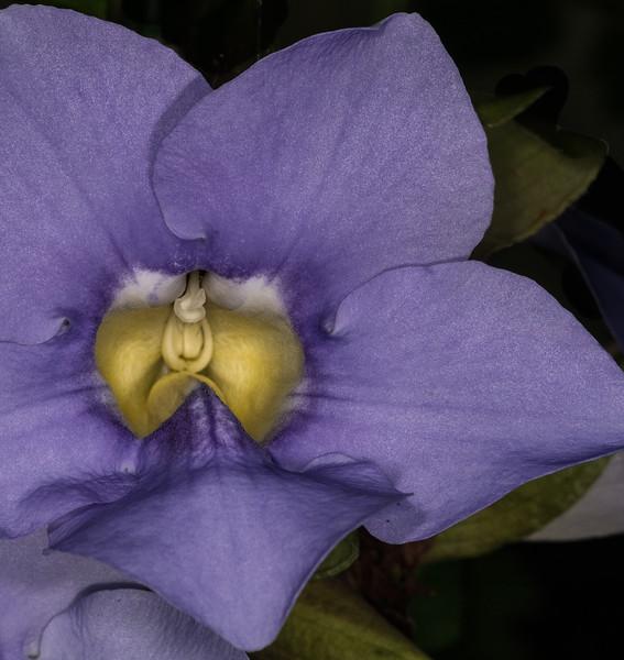 • Location - Rockledge Gardens<br /> • Blue Sky Vine (Thunbergia grandiflora)