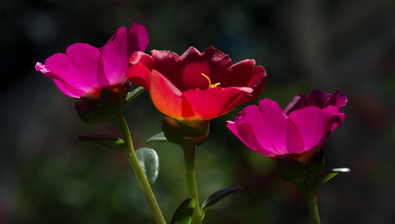• Location - Rockledge Gardens<br /> • Back-llt Purslane (Portulaca grandiflora)