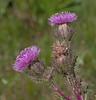 Purple Thistle - Cirsium Horridulum;