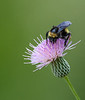 Bumble Bee on top of this Thistle
