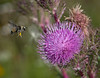 Bumble Bee in flight to a Purple Thistle