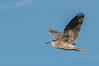 • Location - Wakodahatchee Wetlands<br /> • Black-crowned Night Heron in flight