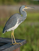 • Location - Wakodahatchee Wetlands<br /> • Close-up of a Tri-colored Heron