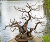 • Location - Morikami Museum<br /> • Bonsai