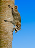 • Location - Green Cay Wetlands<br /> • Common Raccoon on his way down the tree
