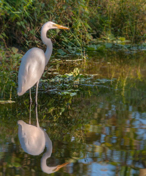 • Location - Green Cay Wetlands<br /> • Great Egret with its reflection