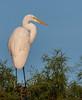 • Location - Wakodahatchee Wetlands<br /> • Great Egret