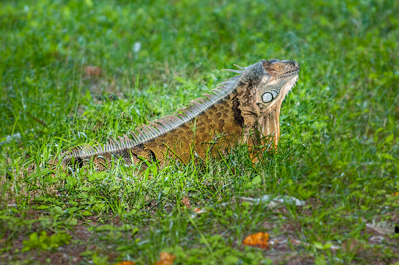 • Location - Green Cay Wetlands<br /> • Green Iguana