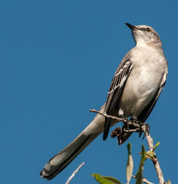 • Location - Wellington Environmental Reserve<br /> • Northern Mockingbird