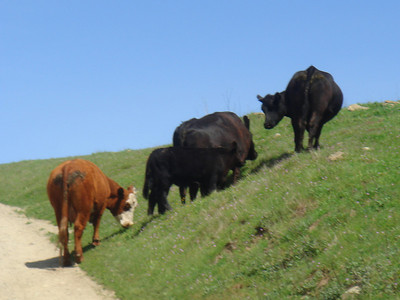 Mira Vacas...