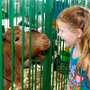 John P. Cleary | The Herald Bulletin<br /> 4 year old Rozalyn Walters was looking at the goats when this friendly fella wanted a closer look for himself Monday at the Madison County 4-H Fair.<br /> For a gallery of photos to view or purchase, visit<br /> photos.heraldbulletin.com.