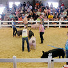 John P. Cleary | The Herald Bulletin<br /> The Swine Show was held Monday at the Madison County 4-H Fair in the show arena.