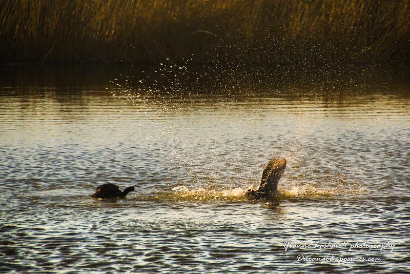 Ducks frolic in the wetlands.