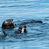 Sea Otters Feeding