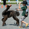 Alpaca Club member Jonathan McCarthy ,10, maneuvers his alpaca Chase through an obstacle course during the Montgomery County 4-H Fair in Skippack Township on Saturday August 9,2014. Photo by Mark C Psoras