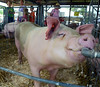 A pig enjoys a drink of water during the Montgomery County 4-H Fair in Skippack Township on Saturday August 9,2014. Photo by Mark C Psoras