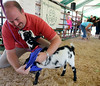 State Representative Matt Bradford (L) competes against State Rep. Marcy Toepel (back R) in a Celebrity Goat Dressing Contest during the Montgomery County 4-H Fair in Skippack Township on Saturday August 9,2014. Photo by Mark C Psoras