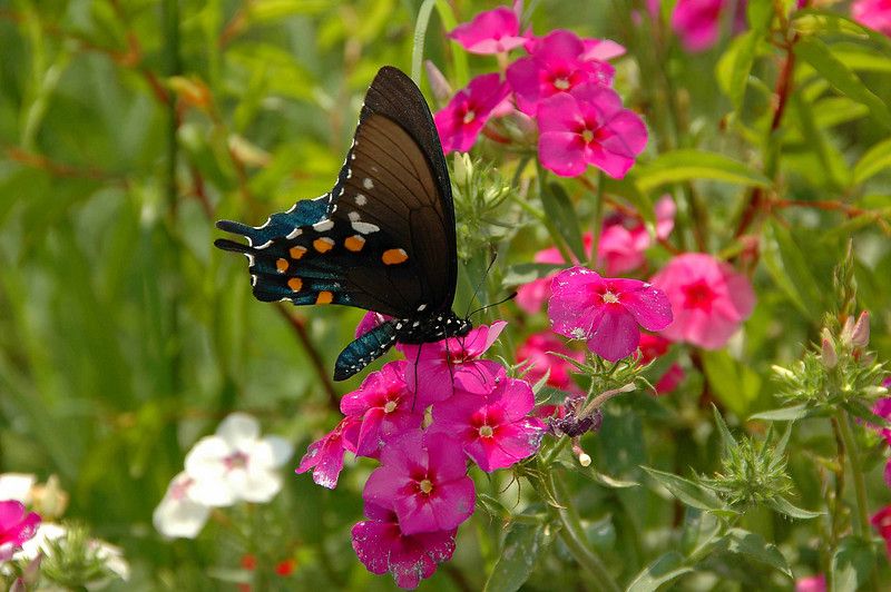 If anyone happens to know the common name of this butterfly, please send me an e-mail.